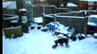 Pug And Miniature Schnauzer Pups Play In Snow