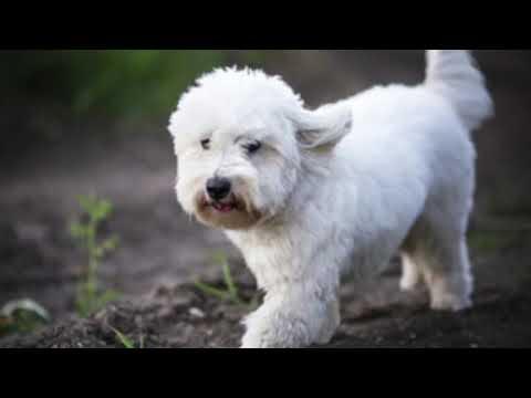 Coton De Tulear - Dog Breed Information