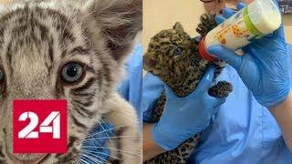В аэропорту Краснодара у пассажира  изъяли двух леопардов и тигренка - Россия 24