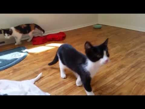 Foster kittens playing