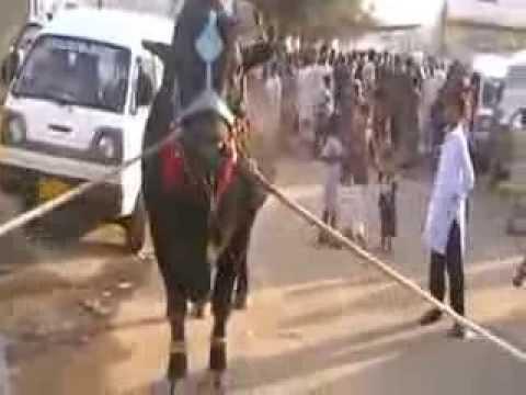 Cow Run Before Qurbani - Beautiful Cow Qurbani in Landhi ...Qurbani Cow 2009