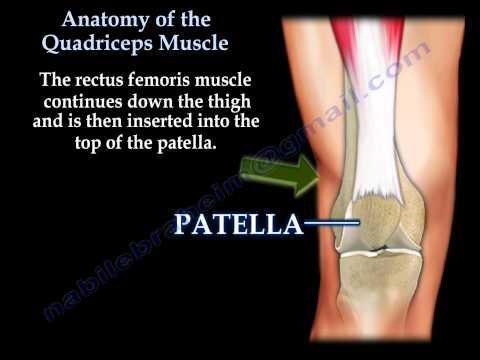 Anatomy Of The Quadriceps Everything You Need To Know Dr. Nabil Ebraheim