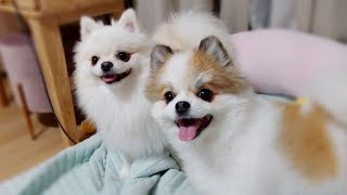 The Two Cute Pomeranians   Cute dog ♥ Funny dog