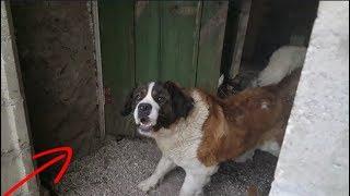 Самая лучшая собака в мире для охраны Московская сторожевая, собака атакуют это жесть