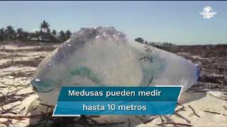 La llegada de medusas es un fenómeno natural que ocurre cada año, pero en esta ocasión es menor en comparación con el que se registró en el año 2019