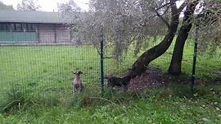 Питомник собак в Великом Новгороде   Купили щенка курцхаара
