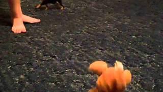 Miniature Pinscher Puppy Playing