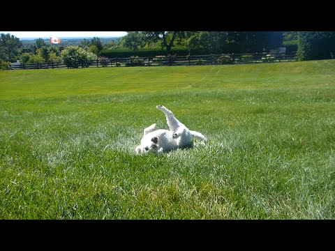 Two Bichon Frise Dogs Rolling down a Hill