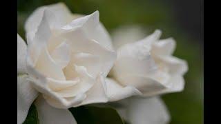 梅雨のこの時期、冷たい雨にくちなしの花が良い匂いを漂わせていました...