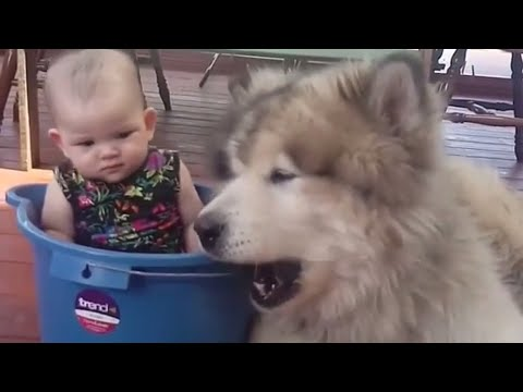 Cute Alaskan Malamute Showing Love To Babies Compilation - Dog And Baby Videos