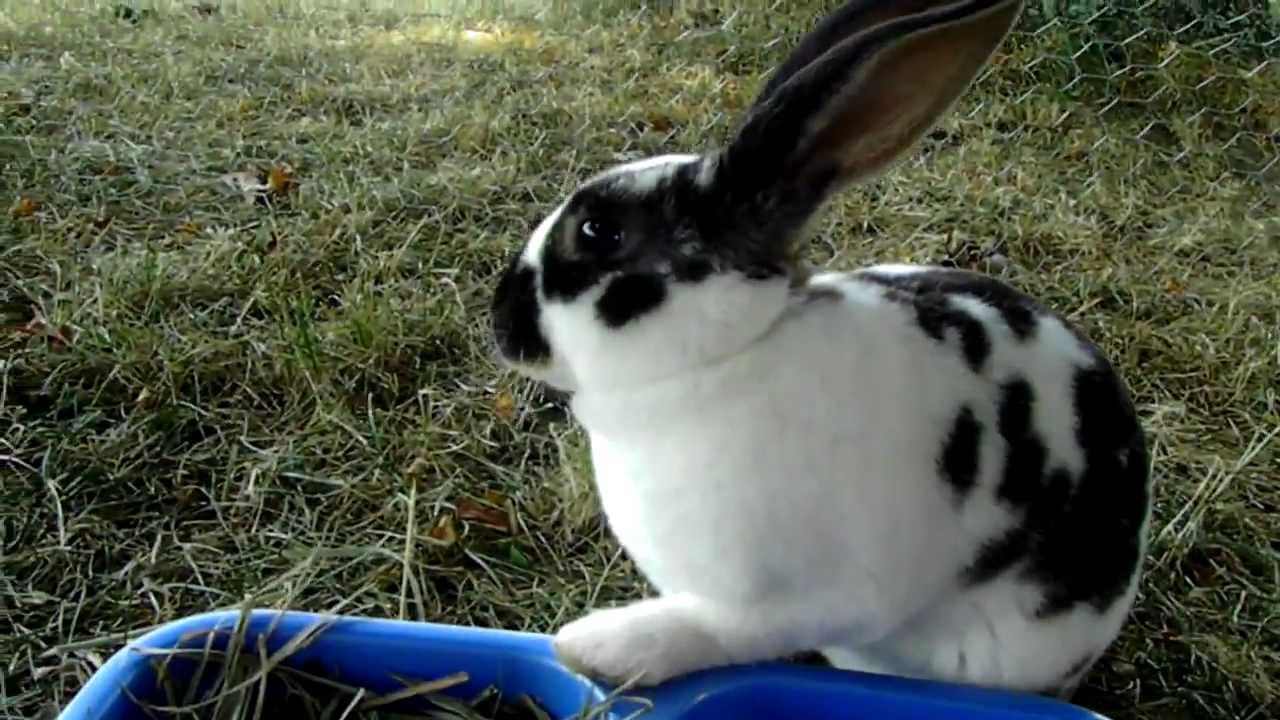 Lucy, Broken Black Mini Rex Bunny - YouTube