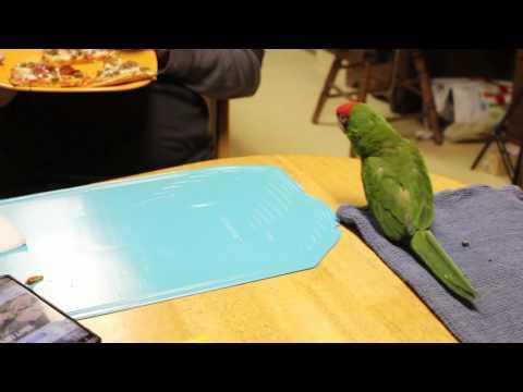 Parrot Pizza Dance