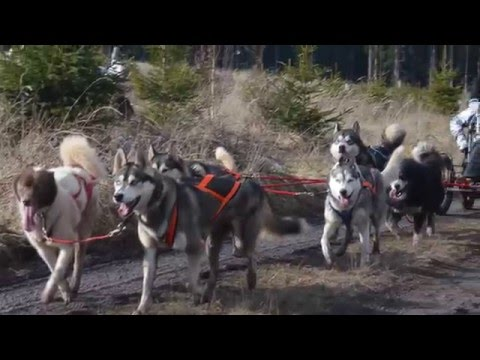 Travel Video - Husky Dog Sledding in Thuringen, Germany