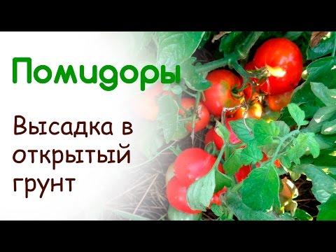 Сроки посадки помидор в открытый грунт