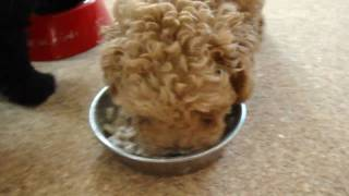 Toy poodle family are eating a breakfast.