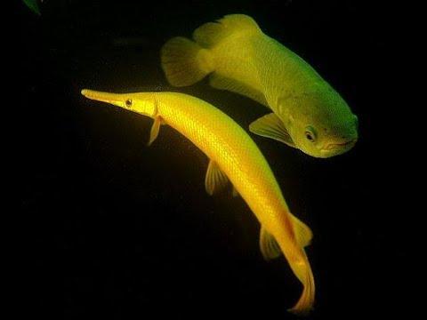Rare aquarium fish youtube for Rare freshwater fish