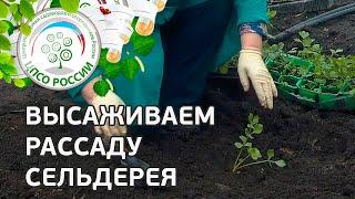 видео Сельдерей черешковый выращивание из семян и посадка в открытый грунт