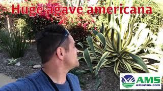 Huge Agave Americana