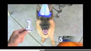 On The News In La! Dunder The German Shepherd