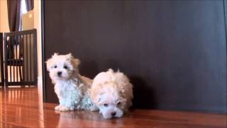 Maltese Puppies For Sale - April 9, 2013