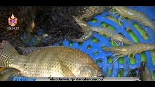 เกษตรสร้างชาติ : เลี้ยงปลาผสมกุ้ง ปลอดโรคตายด่วน