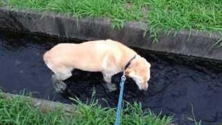 ラブラドールは本当に水が好きですね 夏になるといつも散歩中に田んぼの...