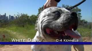 WHITE DEVIL - MOST EXTREME LOOKING PIT BULL DOG
