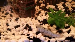 Dalmatian Molly Giving Birth