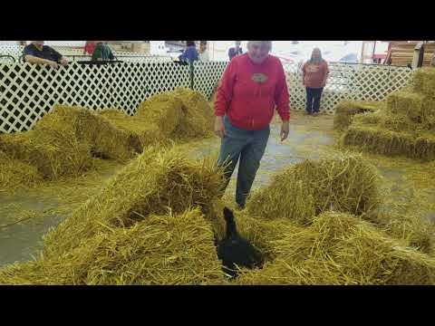 Jane H and Pooka run Senior Barn Hunt Trial in Monroe Michigan