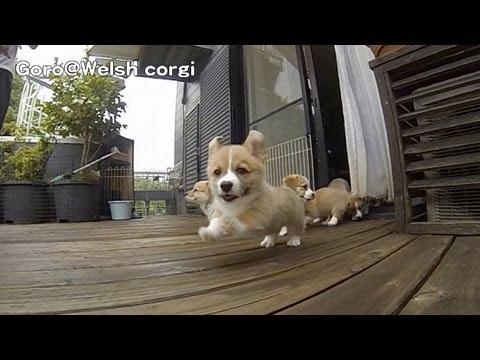 Corgi Puppies Are Moving Super Slowly