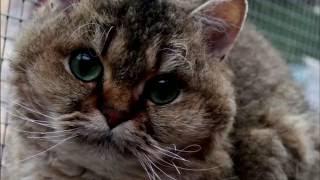 Порода кошек. Селкирк рекс. Длинношерстная кошка,молодая кошка легко осваивается на дому!