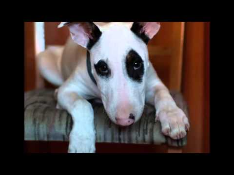 beautiful pictures of Bull Terrier dog breed