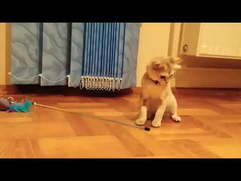 Playing with Paris singapura kitten
