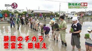 6月4日に行われた酒米「誉富士」の田植えイベントの様子。 焼津酒米研究...