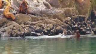 Steller Sea Lion Conservation in Alaska
