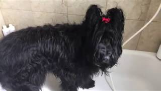 How to Bathe a Briard in 13 Easy Steps