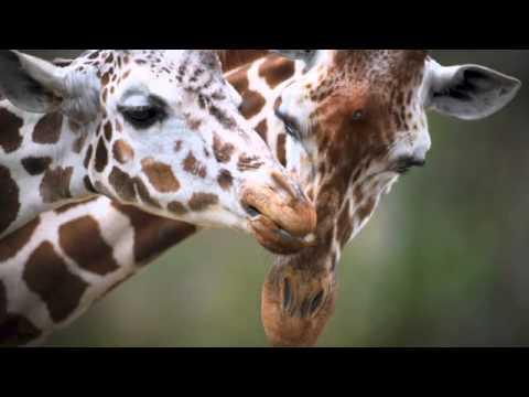 The Animals Voice Presents: Giraffes