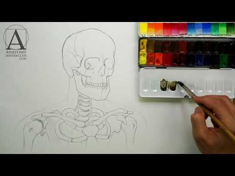 Anatomy of the Head Neck and Shoulders - Anatomy Lesson for Artists