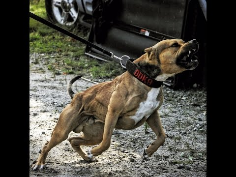 THE HULK LIFE: How i trained the Ultimate protection dog THESUPERPITBULL Part 1