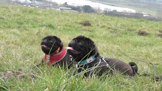 Humphrey & Eunice - Pugs - 3 Week Residential Dog Training At Adolescent Dogs