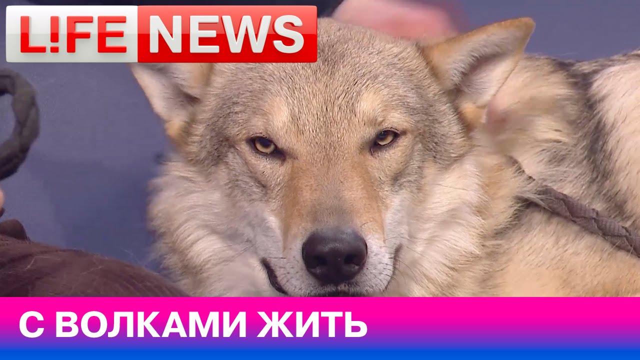 Можно ли приручить волка? - YouTube