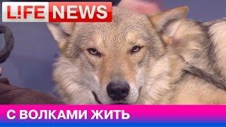 Можно ли приручить волка?