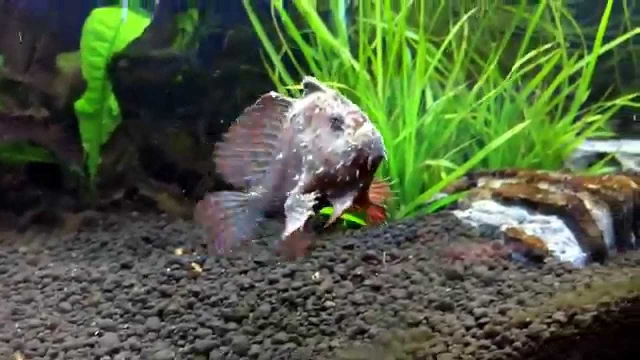 Very rare freshwater frogfish youtube for Rare freshwater aquarium fish