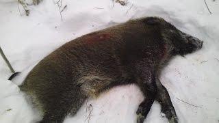 Охота на кабана зимой с подхода видео