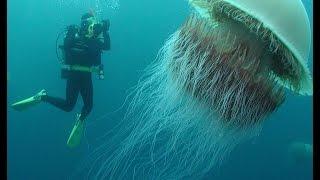 Нашествие медуз Скорость размножение Вес достигает 200 кг Монстр Намура Япония Воды океана