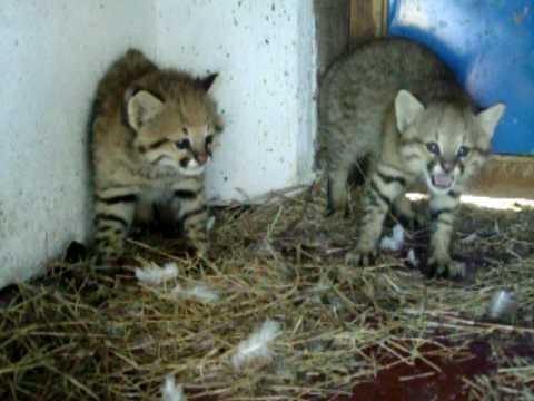 Kittens Pampas Cat Youtube
