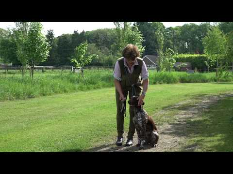 9 Month German shorthaired Pointer first off lead heelwork training