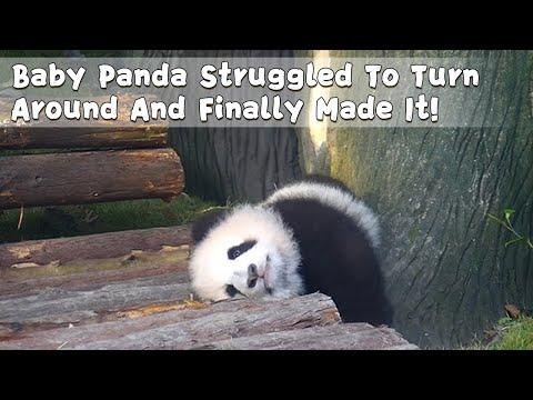 Baby Panda Struggled To Turn Around And Finally Made It! | iPanda