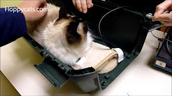 Ragdoll Cat Gets Blood Pressure Test for Cat Kidney Disease & Hypertension Drug Trial - Floppycats