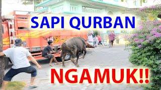 Permalink to Sapi Qurban Mengamuk Stress Takut Motor Saat Kurban Sholat Idul Adha 2019 1440h